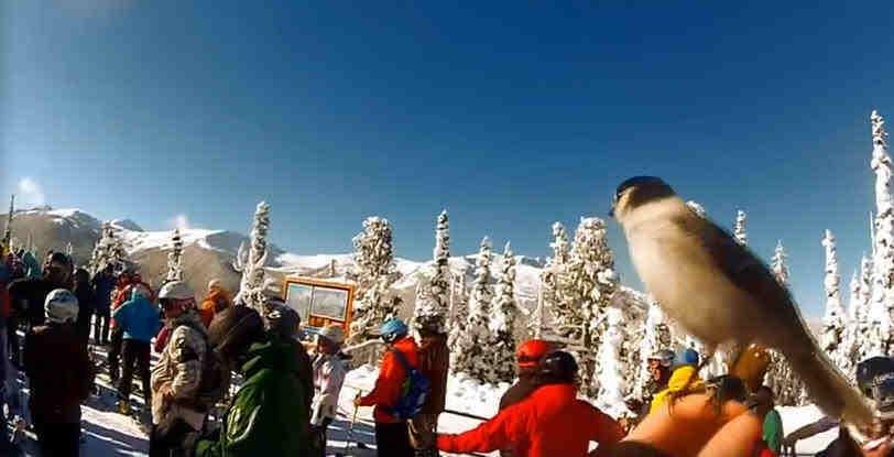 Whistler Ski Bird Whistler Skiing