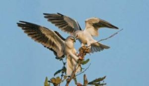 black winged kites