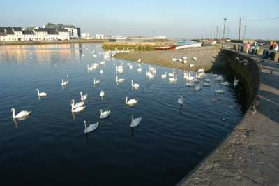Swans in the Claddagh County Galway